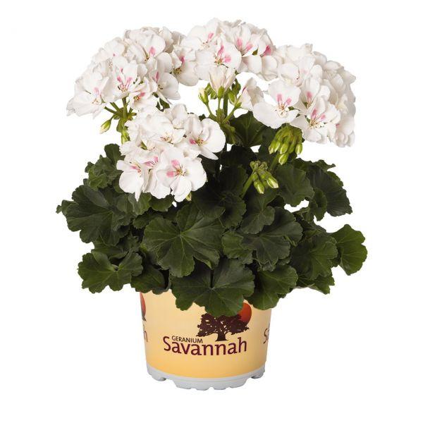 pelargonium-zon-savannah-white-splashF68A1D9E-7997-6453-9710-F321FE7F08DB.jpg