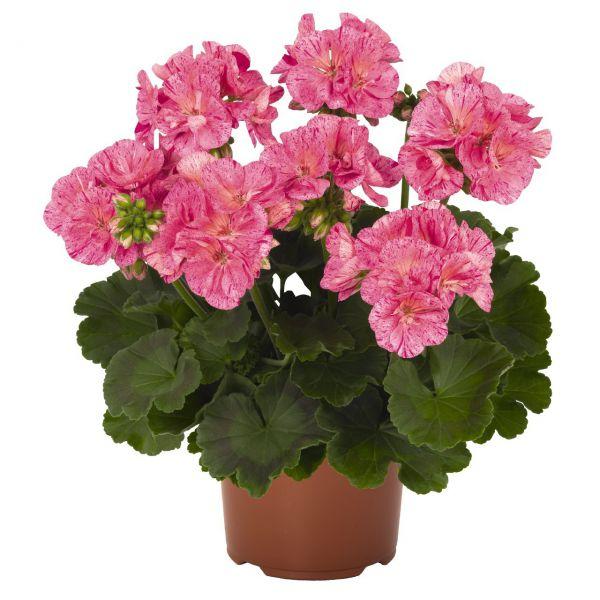 pelargonium-zon-survivor-idols-pink6B51FAB7-CC32-683E-54D5-072A3B99E3F8.jpg