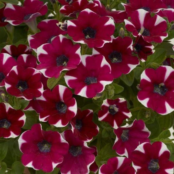 petunia-cascadias-bicolour-cabernet90EEBA1F-E56F-AE41-0A8D-D53BD757180E.jpg