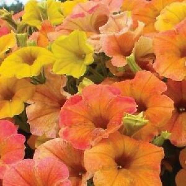 petunia-cascadias-indian-summer9F214B3E-BB74-C4B7-0D72-2D79AB01F59F.jpg