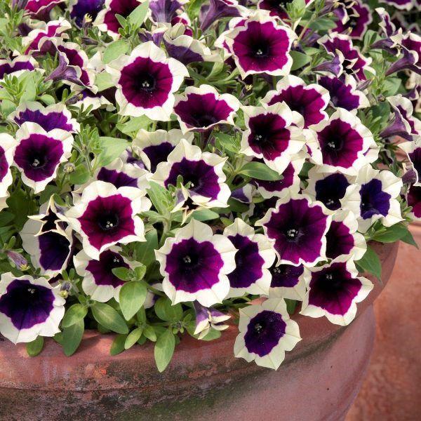 petunia-cascadias-magenta-rimF25140EB-5BCD-F931-CDC2-90061758862E.jpg