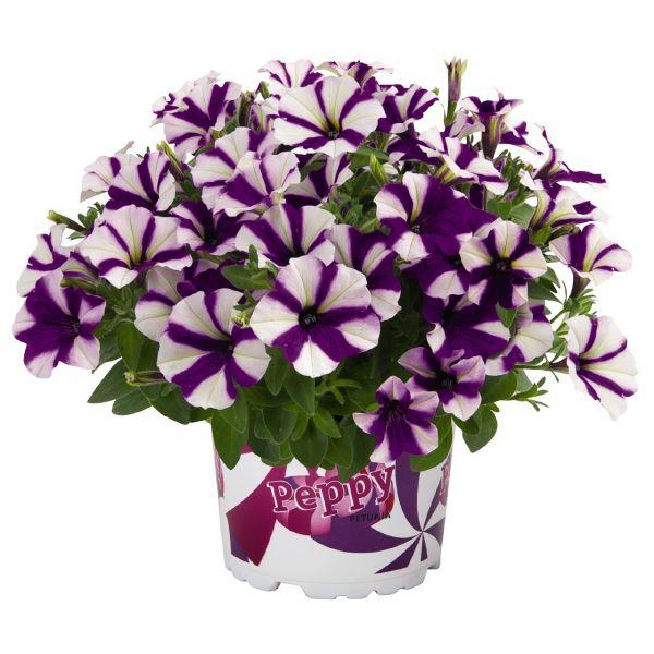 petunia-peppy-purple86DA2F16-C2EA-49B8-6775-B202E3D9E355.jpg