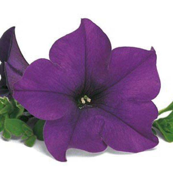 petunia-surfinia-blueE8B6E437-B4D2-EEC1-07BC-EBC67C77898C.jpg