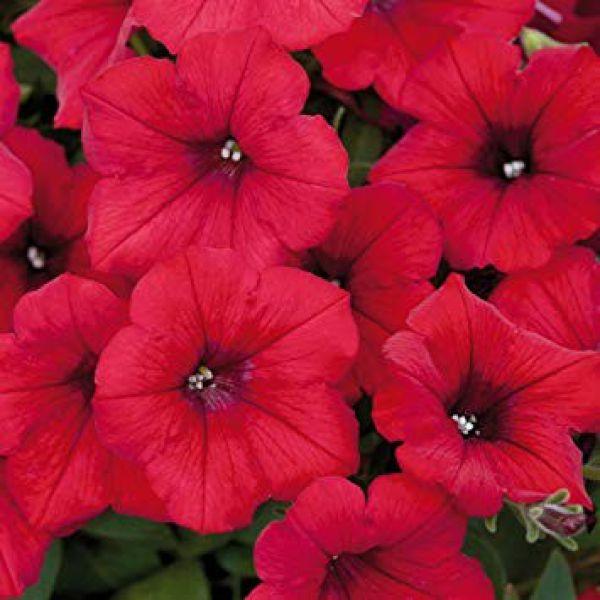 petunia-surfinia-deep-red72BDA34D-0AB3-7C45-5598-B072DAE08818.jpg