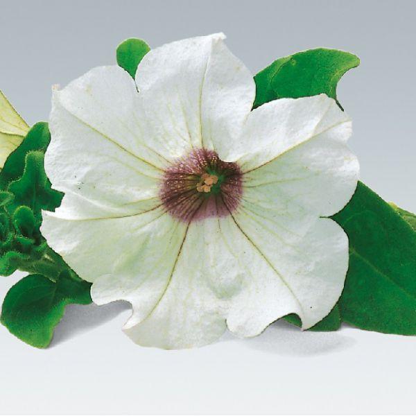 petunia-surfinia-white5A34756B-0921-2812-432B-E6EA4CD1BDCB.jpg