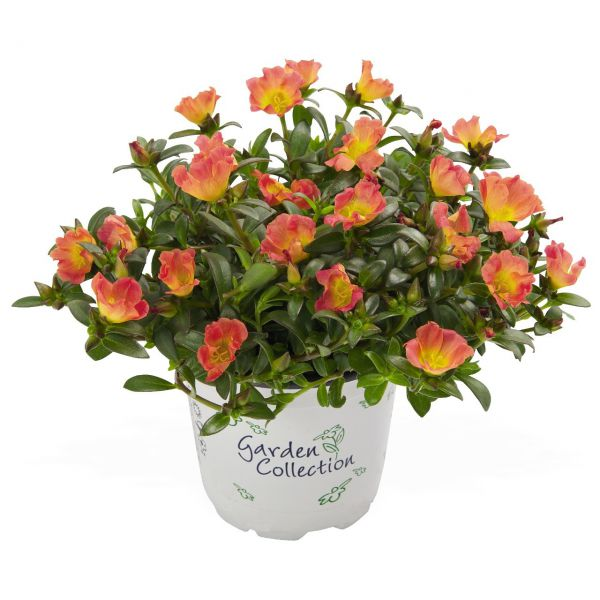 portulaca-cupcake-carrot2088EE83-093D-BA9C-56FB-C24976840DB6.jpg