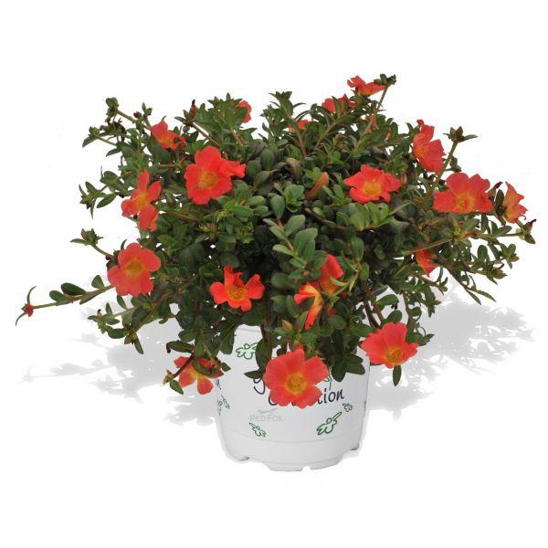 portulaca-cupcake-cherry-baby3BC27F99-B7AF-D558-5B56-00072F2A9FB6.jpg