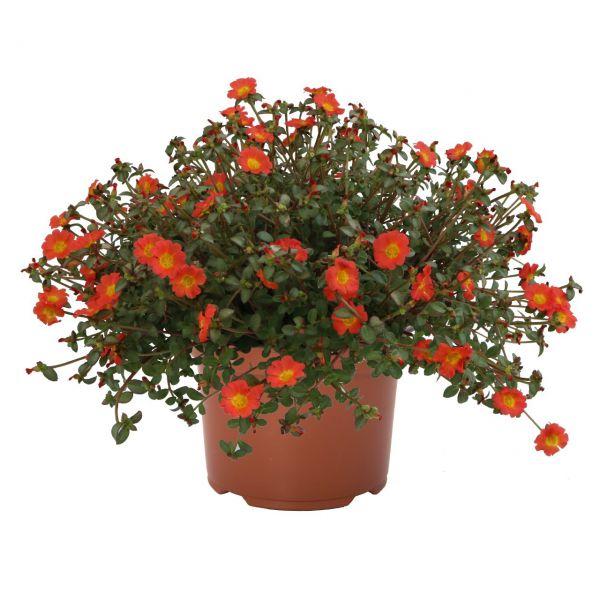 portulaca-cupcake-upright-orange-zest5A9498C8-EFC3-2D00-337C-F530859A60AB.jpg