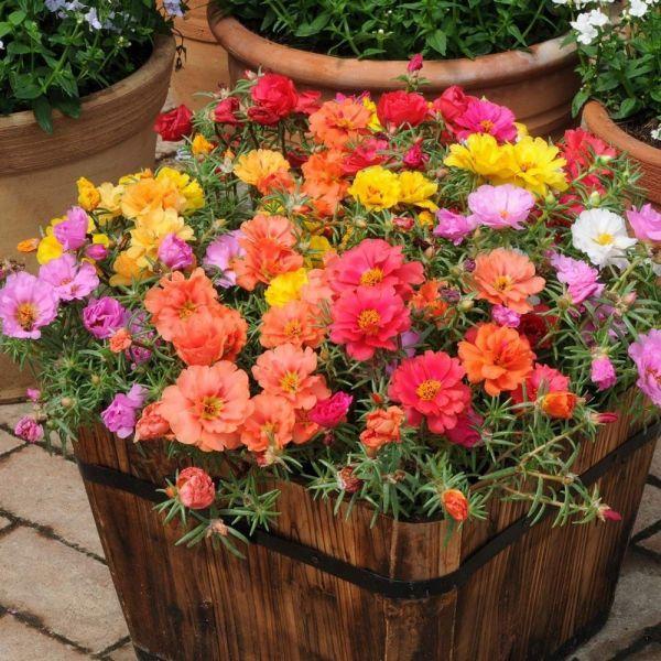 portulaca-grandiflora-happy-hour-mixD79D0B59-43EE-A7A3-D051-34917888FD83.jpg
