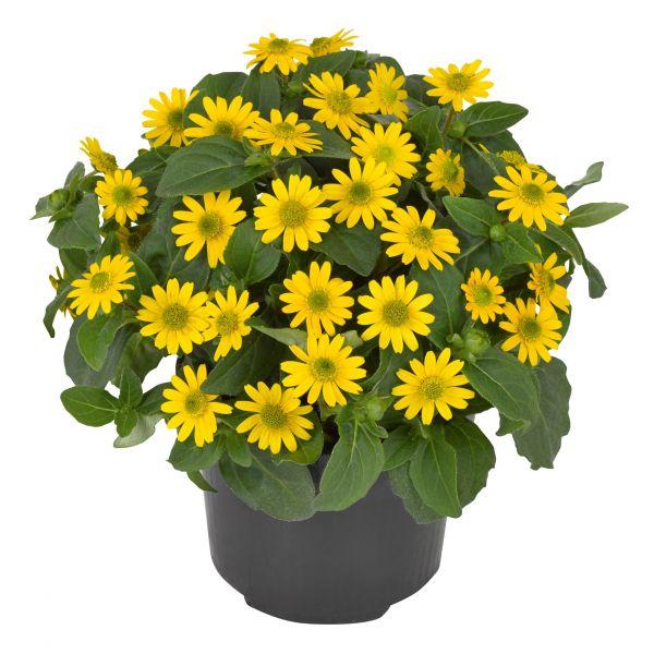 sanvitalia-santiago-great-yellowB3595107-73E8-3EF0-4A3C-869DD0FF47A4.jpg