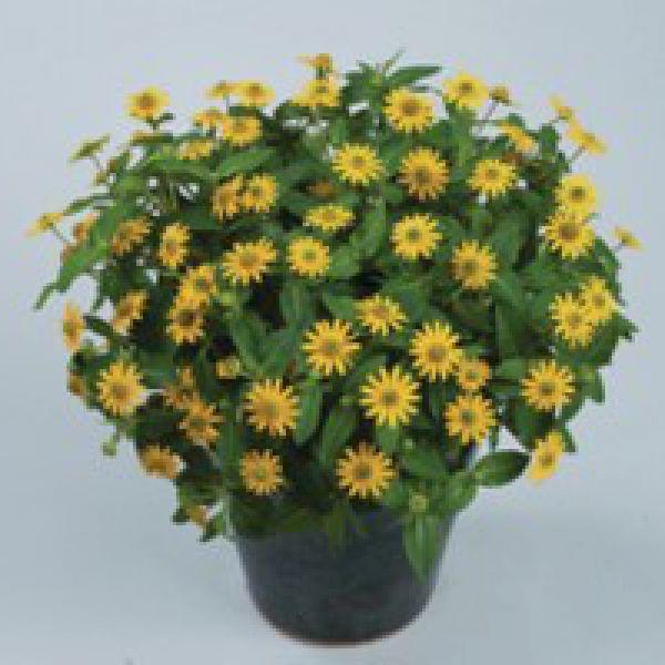 sanvitalia-santiago-yellow35A512C0-F583-0060-17C3-8E67119813AA.jpg