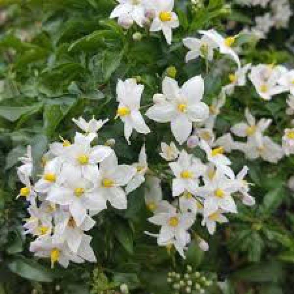 solanum-jasminoides-early-whiteAAFB327A-9B72-B2F7-3A14-EE35ACEF999A.jpg