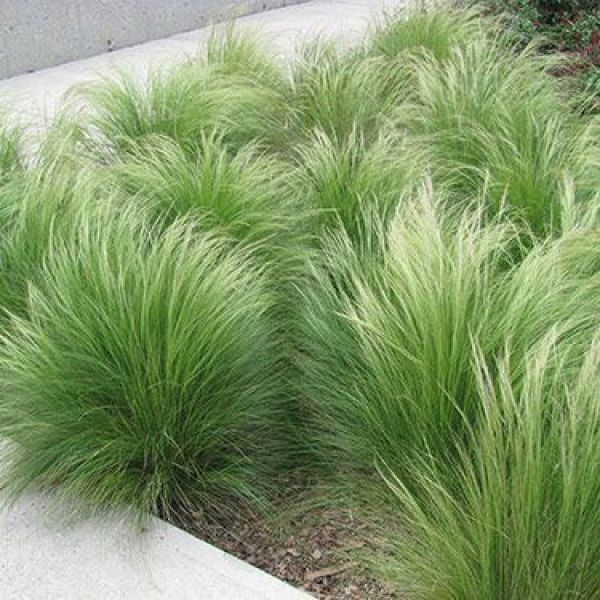 stipa-tenuissima-ponytailsF11FF09D-9612-B272-3584-1D325DA64C4C.jpg