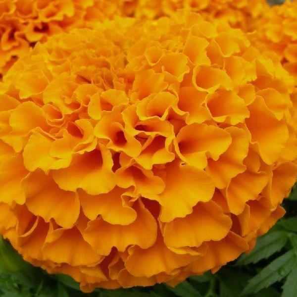 tagetes-erecta-taishan-orangeEE88B011-F23D-2A45-13BE-5350863E7DA7.jpg
