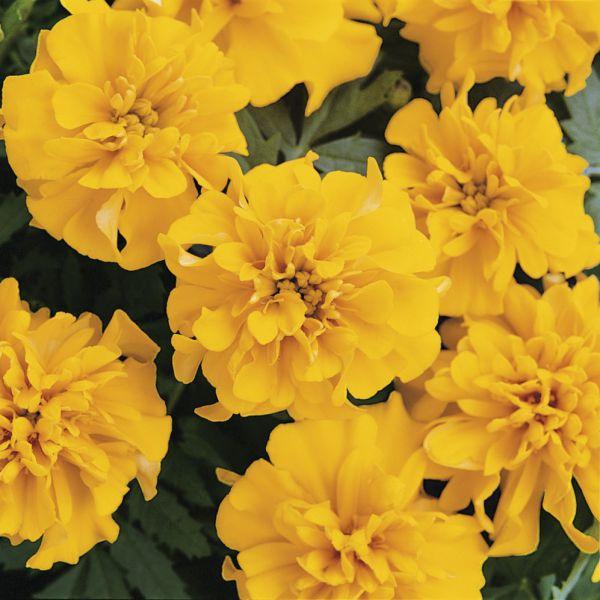 tagetes-patula-nana-bonanza-yellow7F895BFD-F216-6F63-969F-F4FC5978BF57.jpg