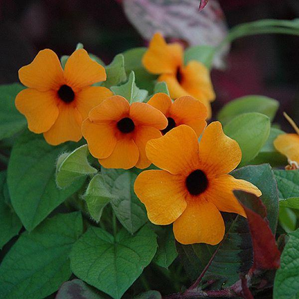 thunbergia-alata-sunny-susy-little-mandarinE7B02320-431A-1EC1-E784-2A2E7DD41210.jpg