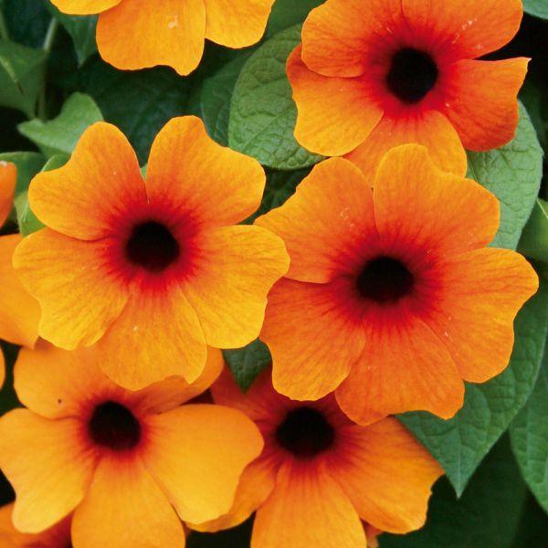 thunbergia-alata-sunny-susy-red-orangeEB32CE3D-50B2-0530-E062-FC4A04D4B5B8.jpg