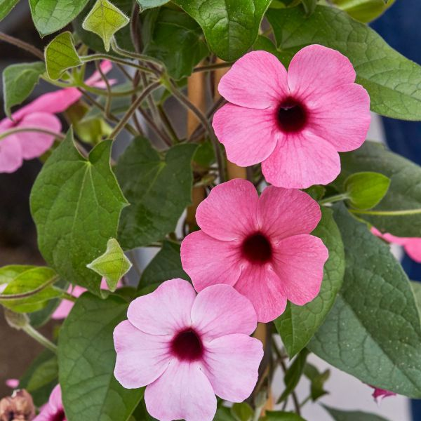 thunbergia-alata-sunny-susy-rose-sensation6CCD95B8-40C7-3711-1AE5-676BE08C7A69.jpg