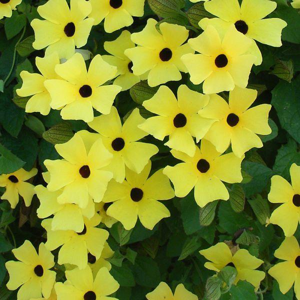 thunbergia-alata-sunny-susy-yellow-dark-eyeA6142F57-F5FB-B952-96F1-E925D23E3098.jpg