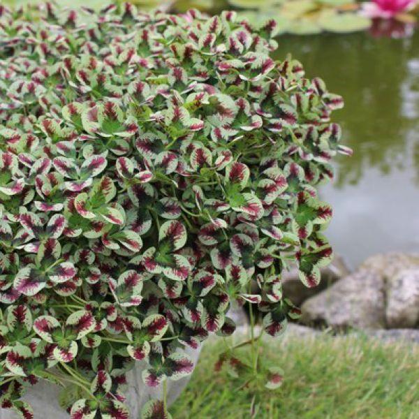 trifolium-sweet-mike3CBAF10A-1BFA-BDE3-2997-58F9F6836F7A.jpg