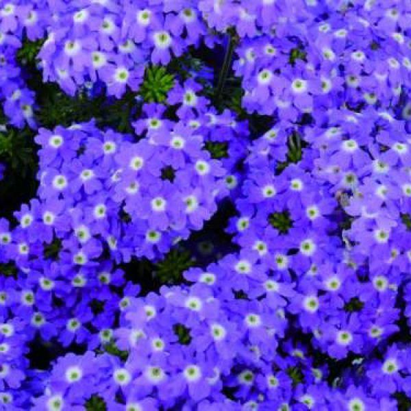 verbena-x-peruviana-vectura®-blue5ED7749E-20D0-0522-A560-EB8E245E2FF6.jpg
