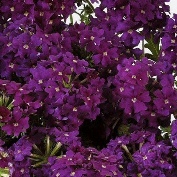 verbena-x-peruviana-vectura®-purple50A5D6DC-CF0C-E1B0-BE29-7B1644367012.jpg