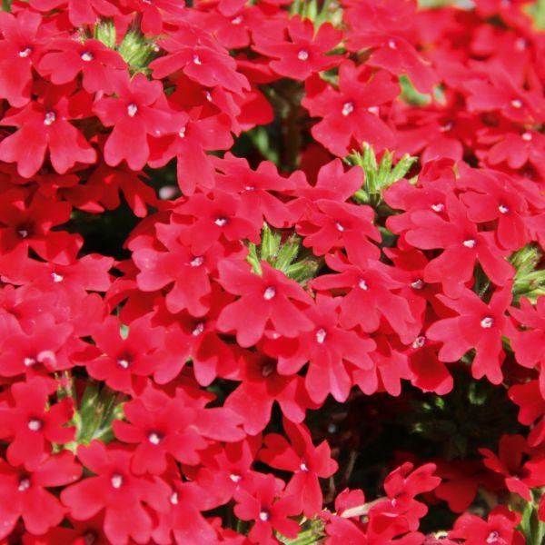 verbena-x-peruviana-vectura®-scarlet22FB4DA0-7C02-5432-0CE0-E264CEF4DFC3.jpg
