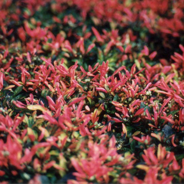 alternanthera-bettzickiana-deep-red5FC06A24-D825-D246-DA4B-511E092B42DD.jpg