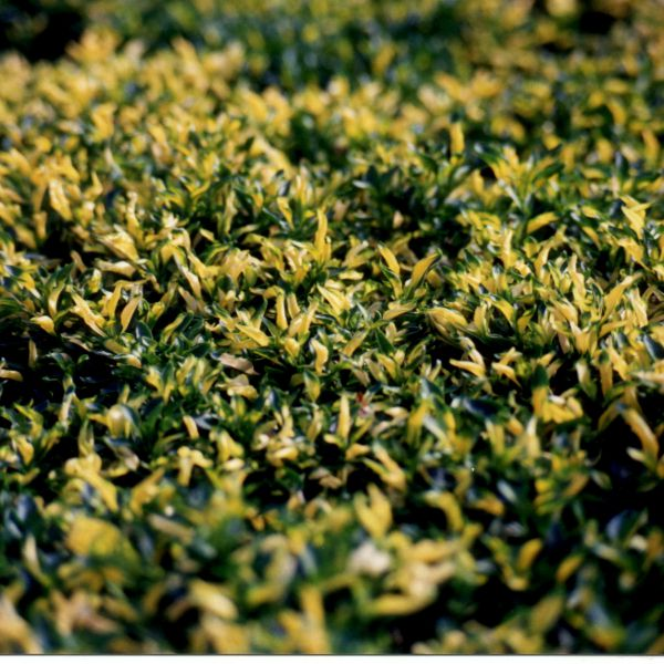 alternanthera-bettzickiana-green-yellow25947C8A-73E6-D39B-CFAF-585B86936620.jpg