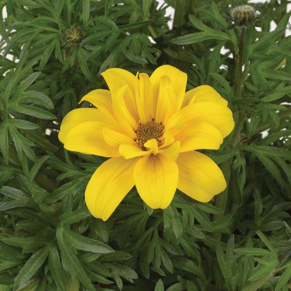 bidens-ferulifolium-sixbi-gold-3830076760587F1B90E38-0A3E-2A8F-9F5F-5B280D048D0E.jpg