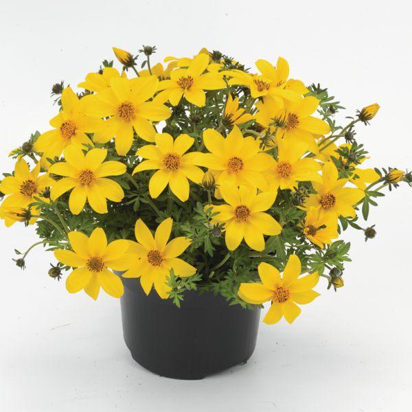 bidens-ferulifolium-yellow-charm-383007676059440F447B6-1340-4D3F-9B11-DE221F258060.jpg